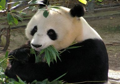 Ursul panda, un animal solitar